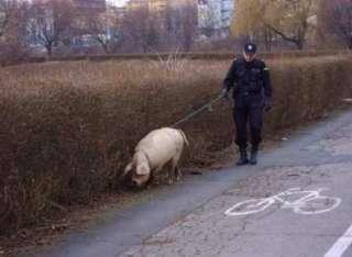 schwein lustige bilder